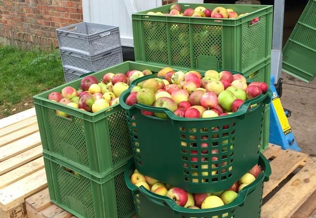 Geerntete Äpfel für Apfelwein