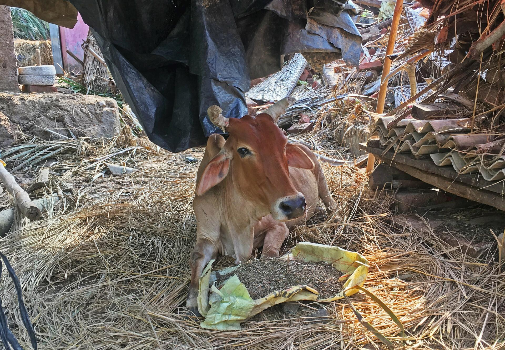 Cow receiving treatment in India