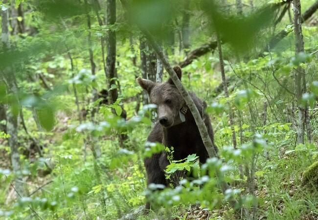Brown bear released into the wild in Bulgaria