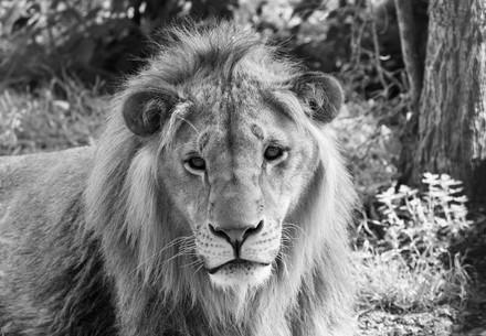 lion-forest