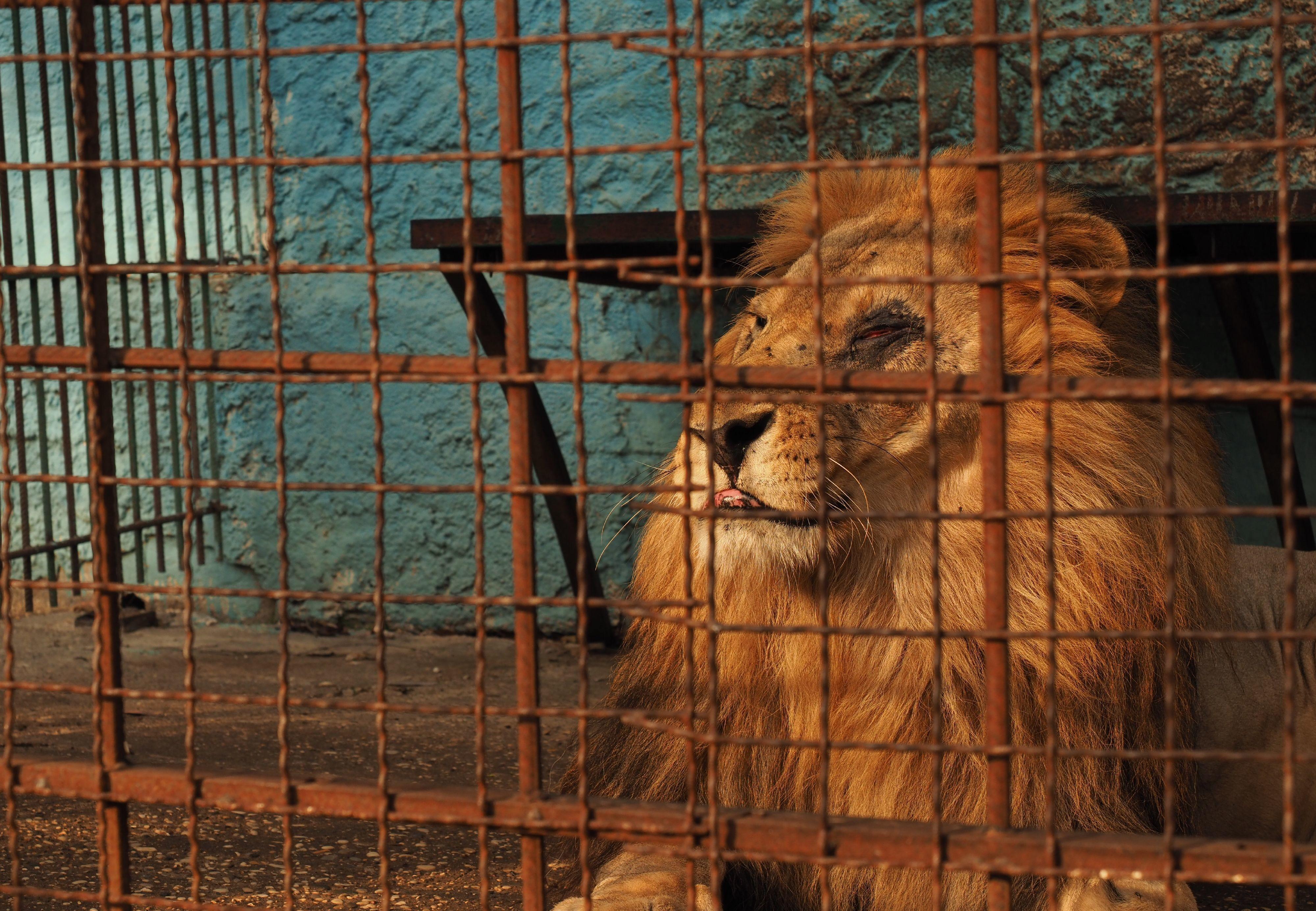 Leeuw Lenci in Safari Park Zoo Fier