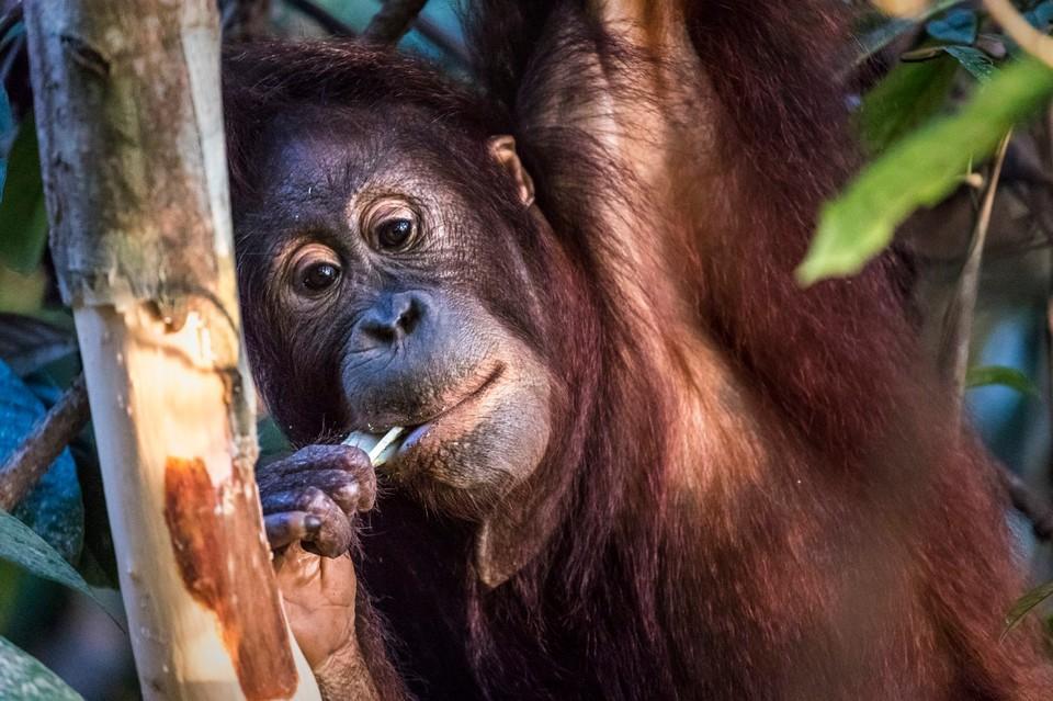 Orang-Utan Eska hängt an einem Baum