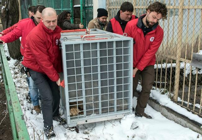 Rescue of lion Ivan-Asen, Bulgaria