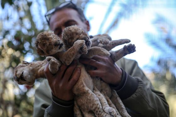 Dead lions cubs at Rafah Zoo