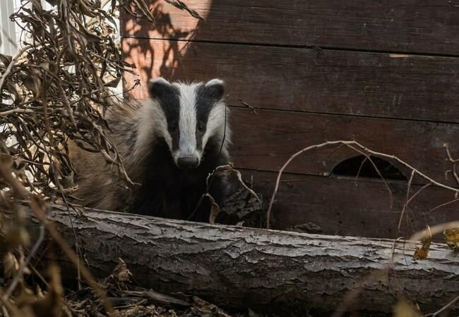 Badger at TIERART