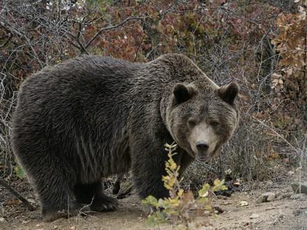 Bear Ari