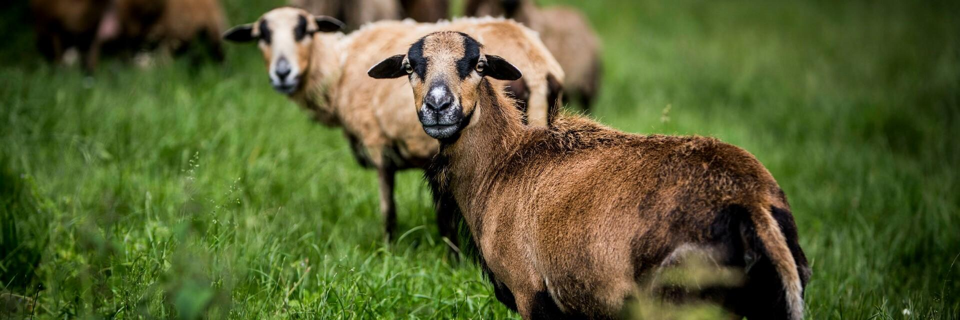Schafe bei TIERART
