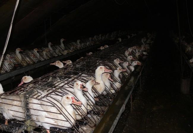 Des canards et oies entassés dans les cages d'une ferme où l'on fabrique le foie gras