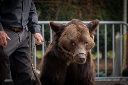 Brown bear being used for entertainment at a Medieval festival