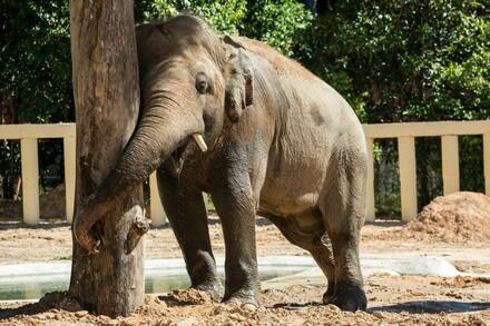 Elephant Kaavan in Cambodia
