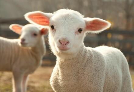 Australian merino lamb