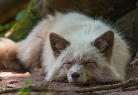 Fox Zoe at TIERART