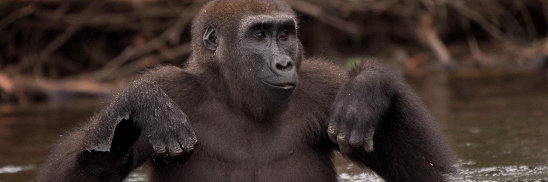 Gorilla Belinga in the river