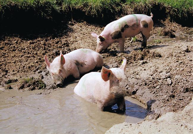 Junge Schweine im Schlammloch