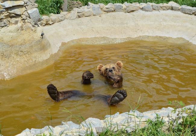 Bear Bodia in his pool