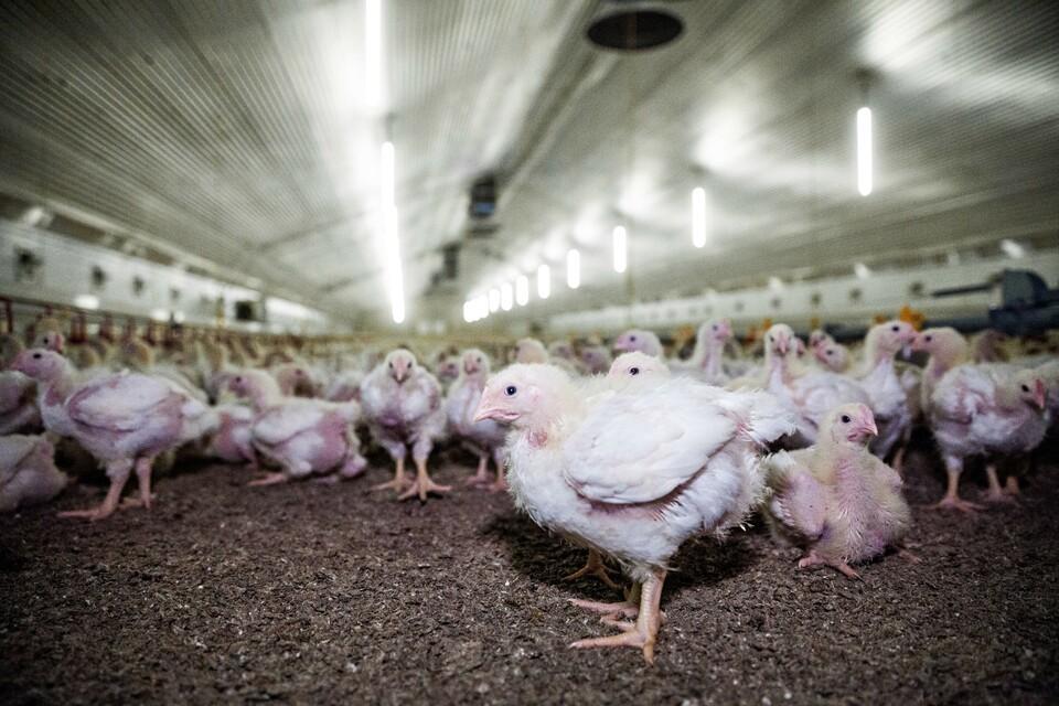 Masthuhn in konventioneller Landwirtschaft (c) Fred Dott | VIER PFOTEN