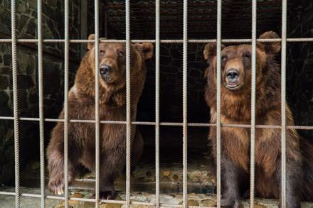Bären im Käfig