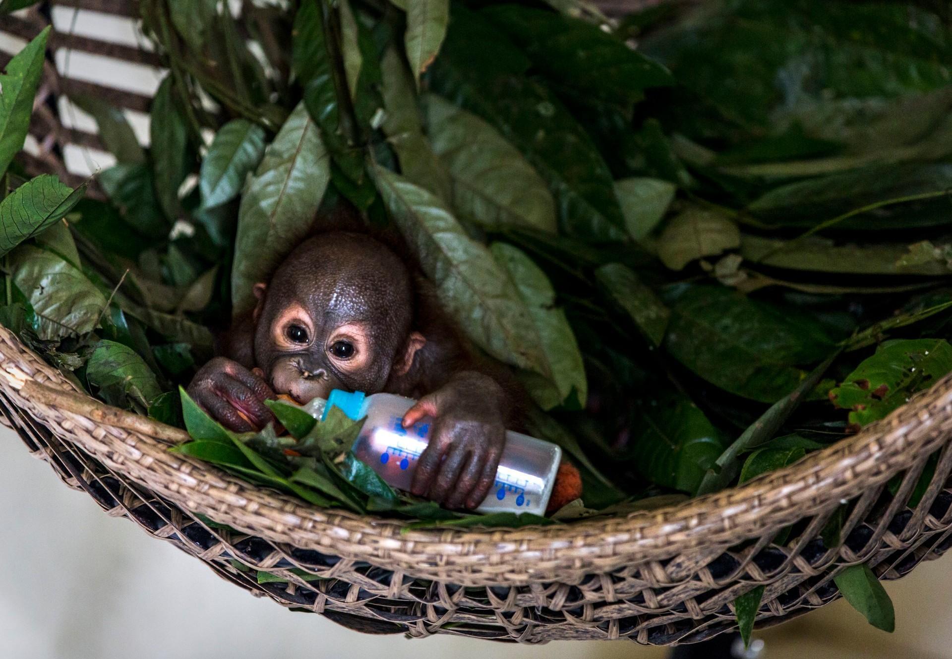 Sein Fläschchen kann Orang-Utan Gerhana schon alleine halten