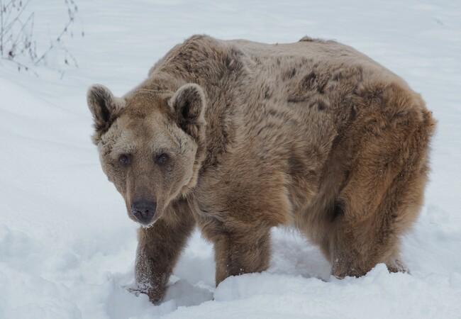 Braunbär Tom stapft durch den Schnee