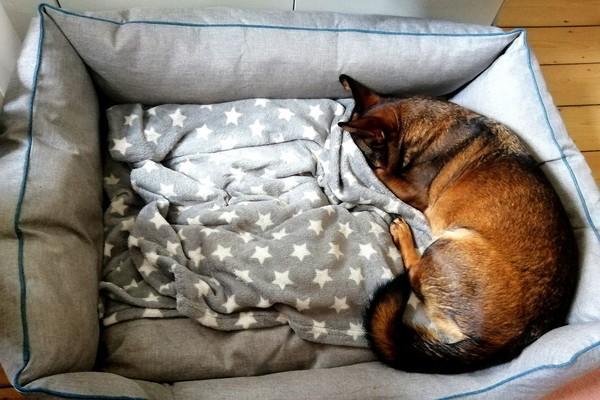 Hund versteckt sich vor der morgendlichen Sonne unter seiner Kuscheldecke