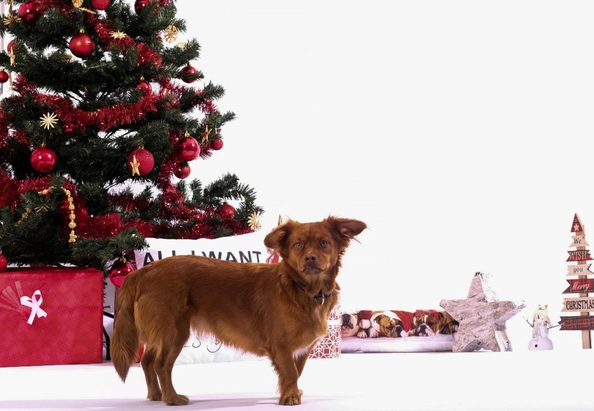 Hund unter dem Weihnachtsbaum