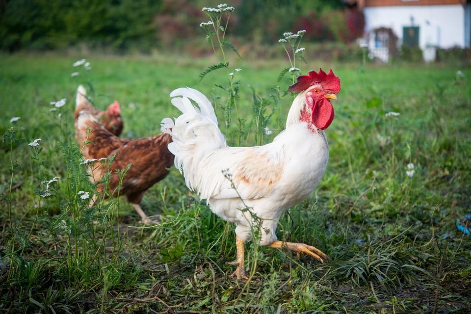 Freilaufende Hühner auf einer grünen Wiese