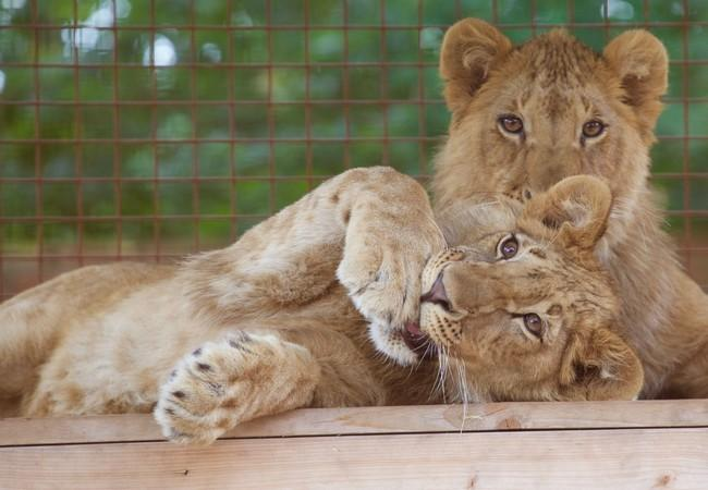 Lion cubs Masoud and Terez