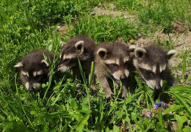 Raccoon cubs at TIERART