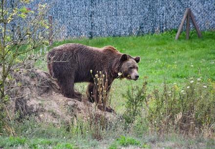 Bear at BEAR SANCTUARY Müritz