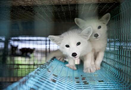 Füchse eingesperrt auf einer Pelzfarm in Finnland