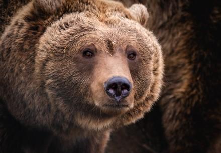 Bear Nastya at BEAR SANCTUARY Domazhyr