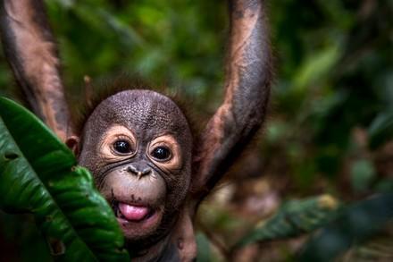 Orang-Utan in der Obhut von VIER PFOTEN