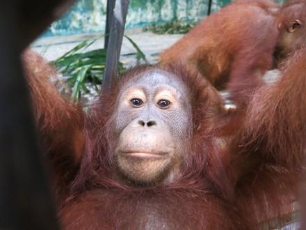 Orang-Utan Amalia in der Waldschule Borneo