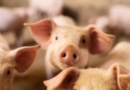Piglets in livestock barn | Fotolia stock photo, #94717183, Size M | Copyright Notice: © Fotolia, Dusanpetkovic1 | © Status: Check - FP owns standard licence, no rights to give to externals