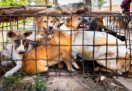 des chiens capturés