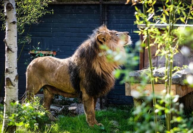 Löwe Lencie geniesst die Sonnenstrahlen in FELIDA