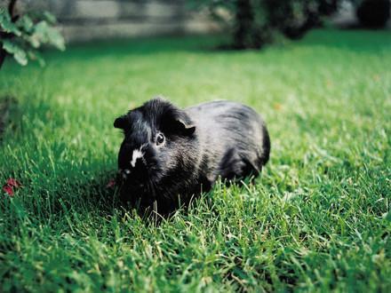 infos sur les cochons d'inde
