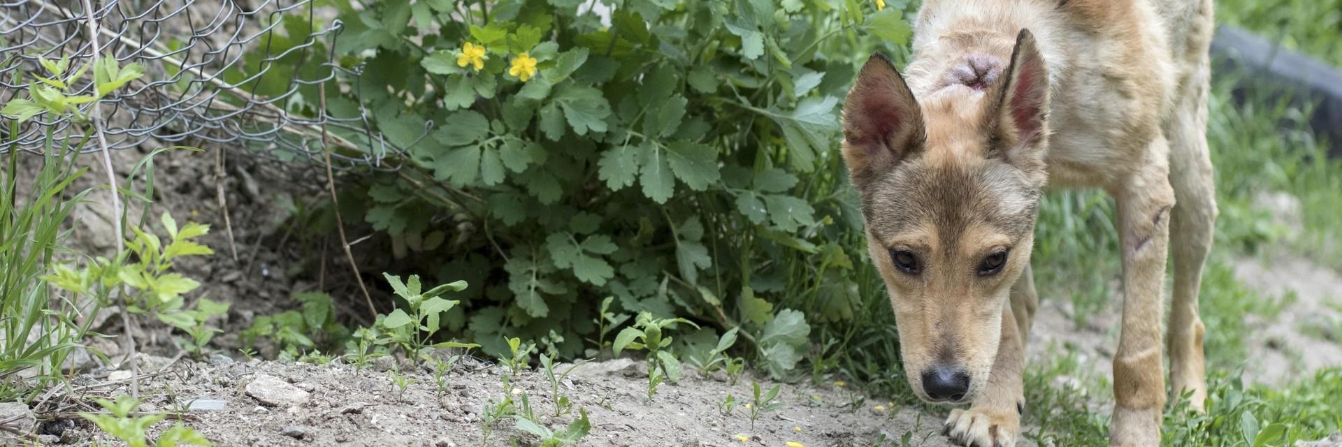 Streunerhund Jason aus Bulgarien