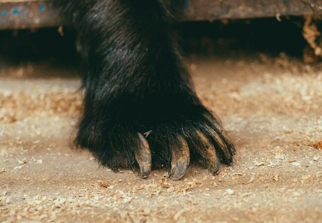 Bear Jambolina's paw
