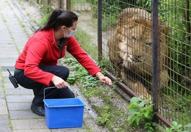 Positive reinforcement training with lion Lenci