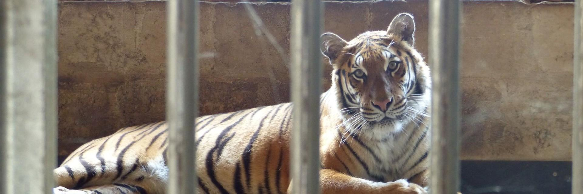 tiger in a cage on concrete floor