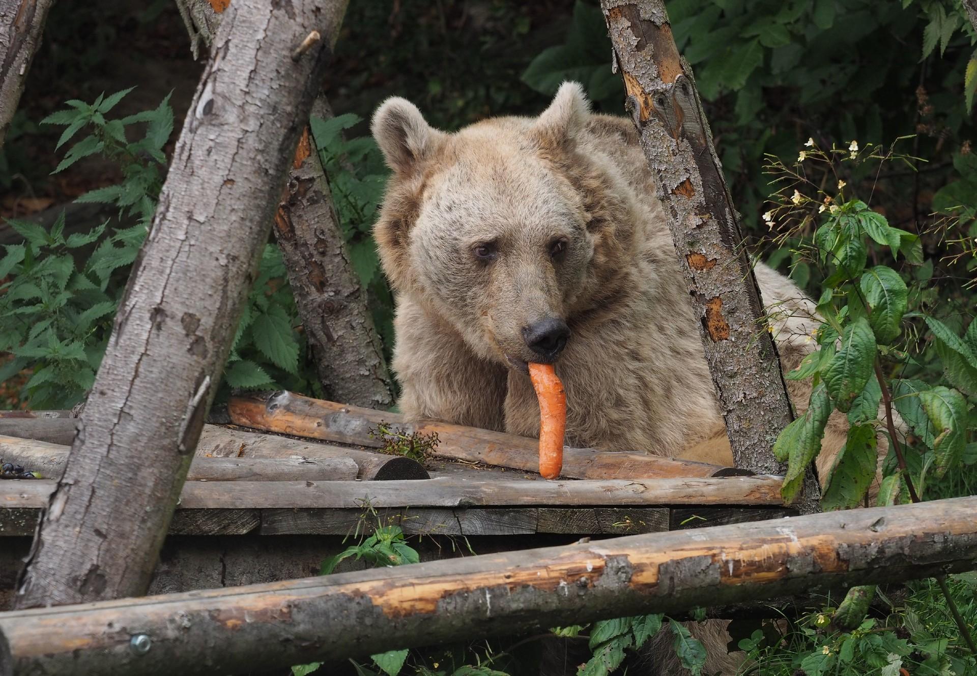 Bär Jerry nimmt sich die Karotte vor.