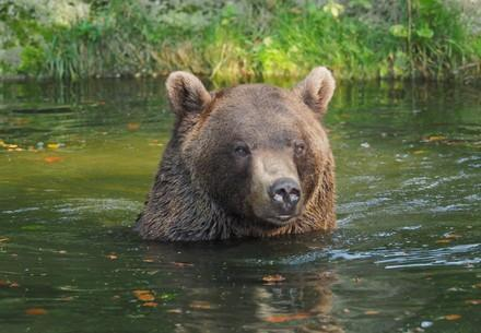 Bear Erich in the pond
