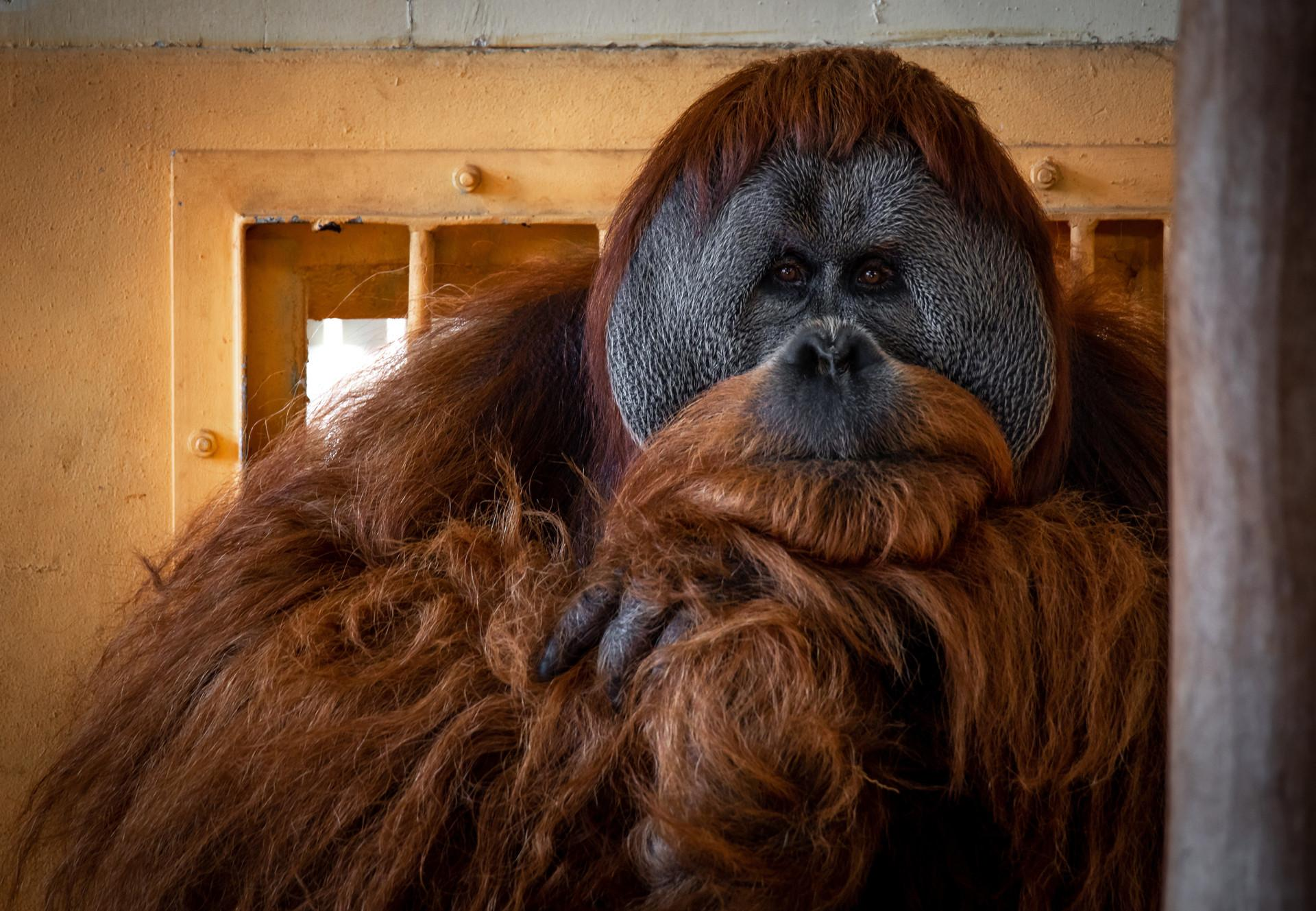 Orang-Utan in einem Zoo