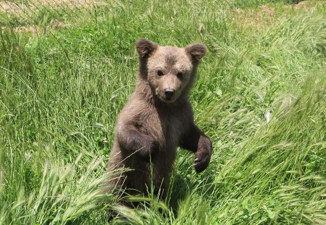 Bear cub Andri in the grass