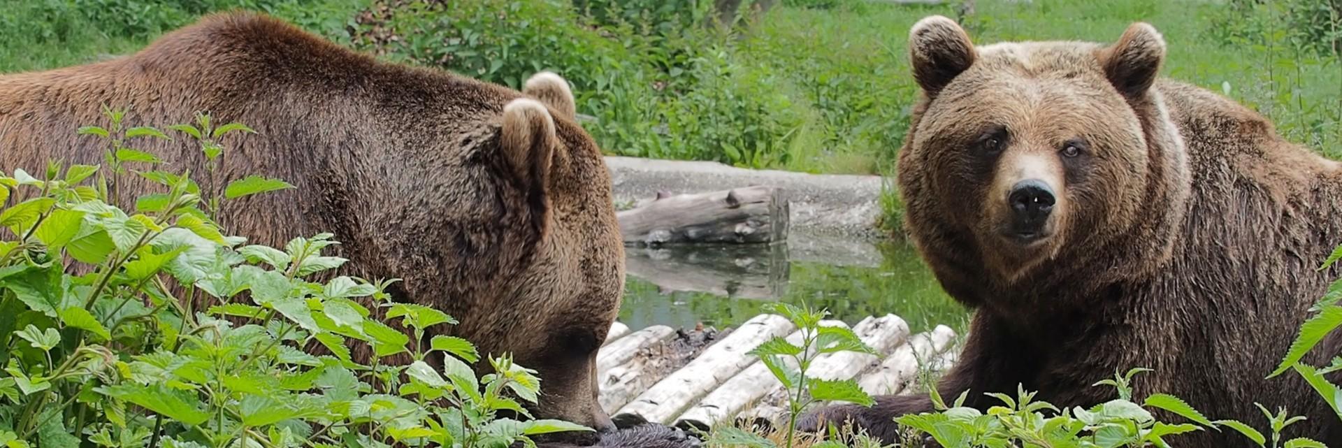 Bears at BEAR SANCATURY Arbesbach
