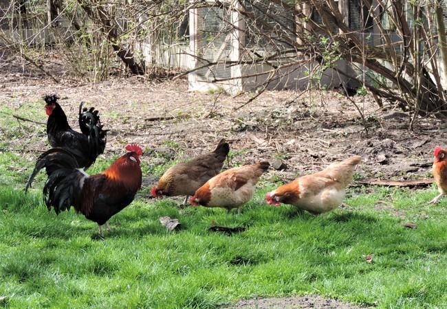 Eberhard mit den anderen Hühnern in Haringsee