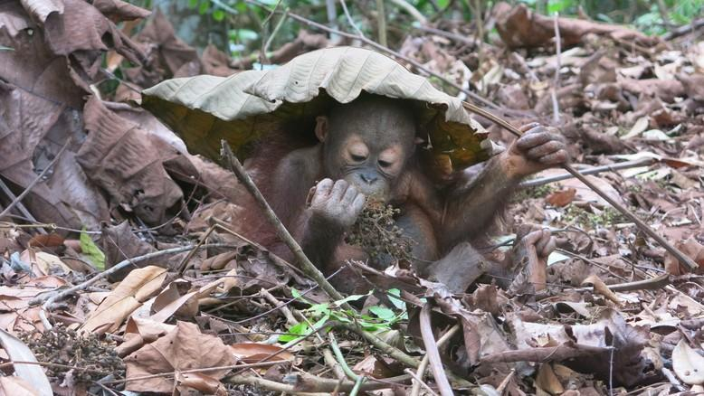 Using the large Macaranga Gingantea's leaf for shelter and eating the berries