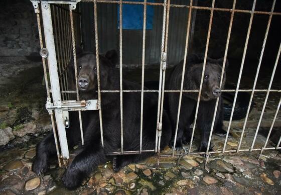 Private bear keeping of bears Frol and Frosia at Hotel Karpatsky Edelweiss in Skole in the Lviv Region, Ukraine.