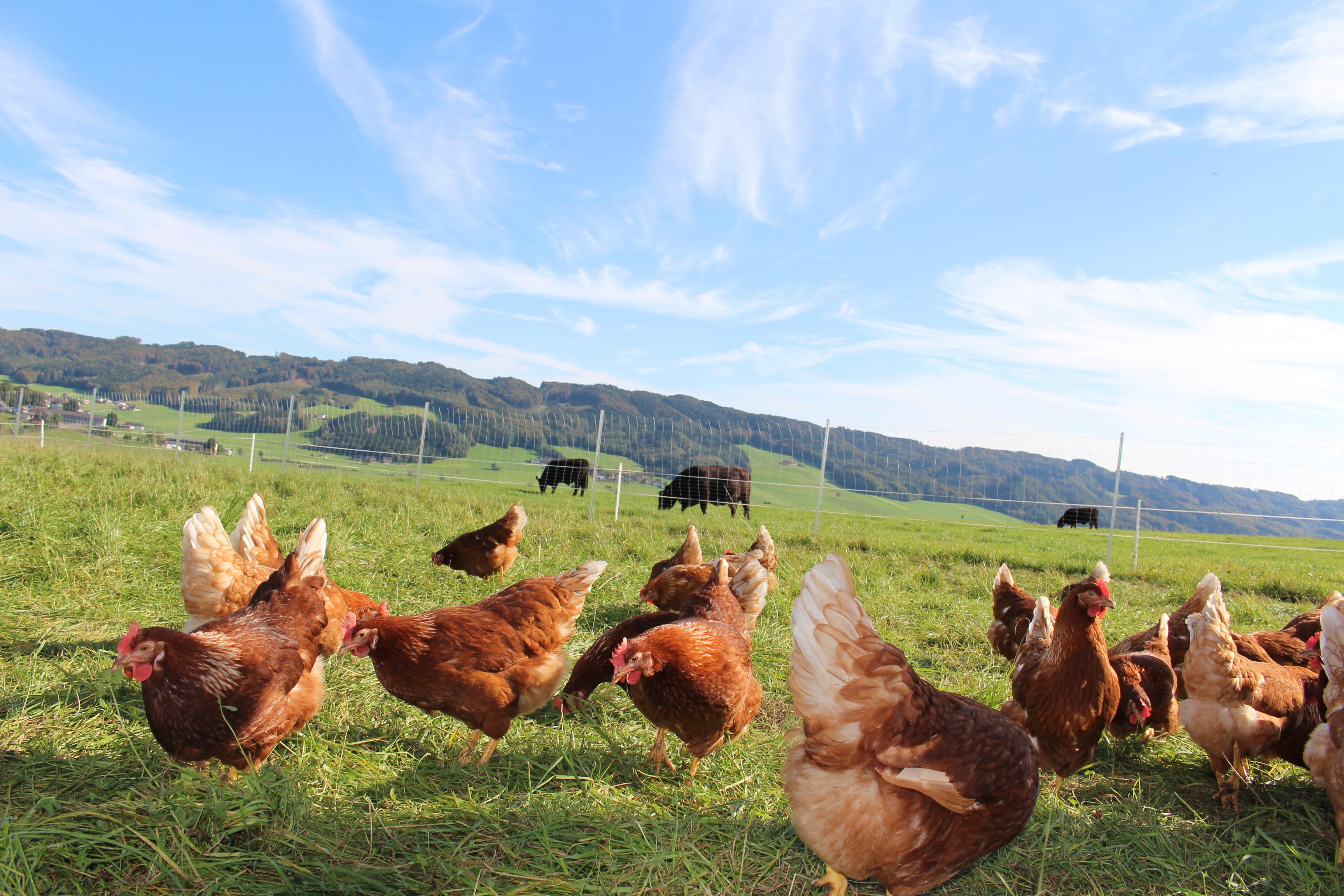 Кокошки на полето